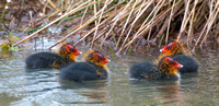 Coots, Standlake, Oxfordshire