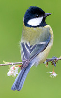 Great Tit, Standlake, Oxfordshire