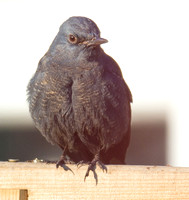 Blue Rock Thrush, Stow on the Wold, Gloucestershire
