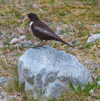 Ring Ouzel, Cairmgorms, Scotland