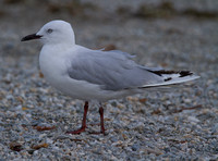 Black Billed Gull, Wanaka, New Zealand