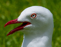 Red Billed Gull, Auckland, New Zealand