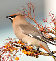 Waxwing, Crowmarsh Gifford, Oxfordshire