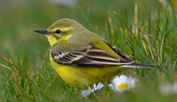 Yellow Wagtail, Farmoor, Oxfordshire