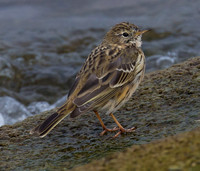 Meadow Pipit, Farmoor, Oxfordshire