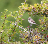 Spotted Flycatcher, Otmoor, Oxfordshire
