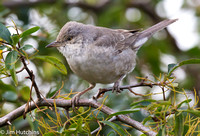 Barred Warbler, Titchfield Haven, Hampshire