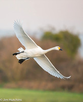 Bewick Swan, Slimbridge, Gloucestershire