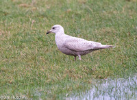First winter Kumlien's Gull, Yelford, Oxfordshire