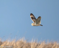 Short Eared Owl, Hawling, Gloucestershire