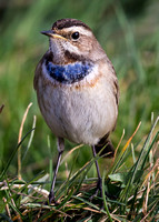 Bluethroat, Willow Fen, Linconshire