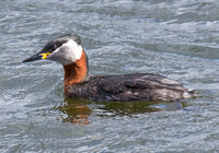 Red-Necked Grebe, Farmoor, Oxfordshire