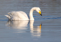 Whooper Swan, Ardley, Oxfordshire