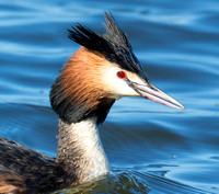 Great Crested Grebe, Standlake, Oxfordshire