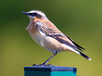 Greenland Wheatear, Farmoor, Oxfordshire