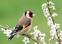Goldfinch, Standlake, Oxfordshire