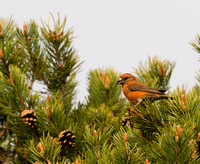 Scottish Crossbill, Loch Malali, Scotland
