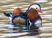 Mandarin, Forest of Dean, Gloucestershire