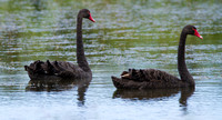 Black Swans, Matamata, New Zealand