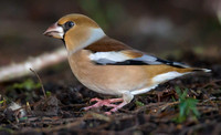 Hawfinch, Parkend, Gloucestershire