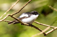 Pied Flycatcher, Forest of Dean, Gloucestershire